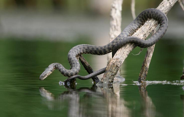 snakefisher06
