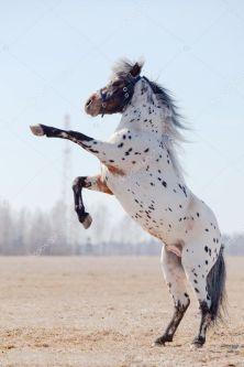 depositphotos_1533540-stock-photo-appaluza-horse-became-a-buck