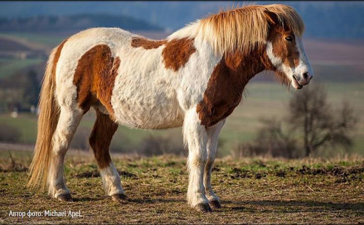 Image исландская лошадь 1