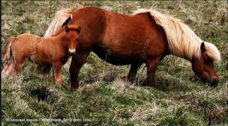 Image исландская лошадь 2