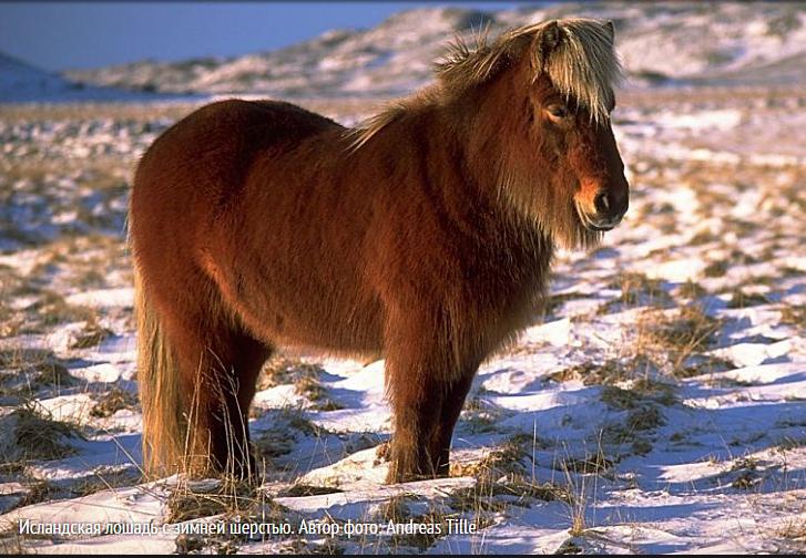 Image исландская лошадь 3