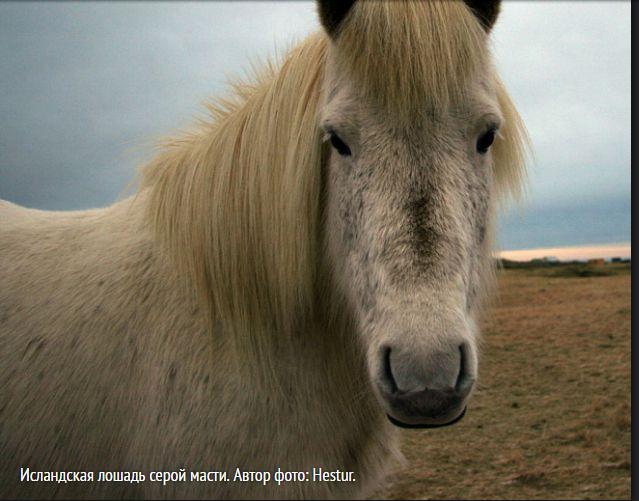 Image исландская лошадь