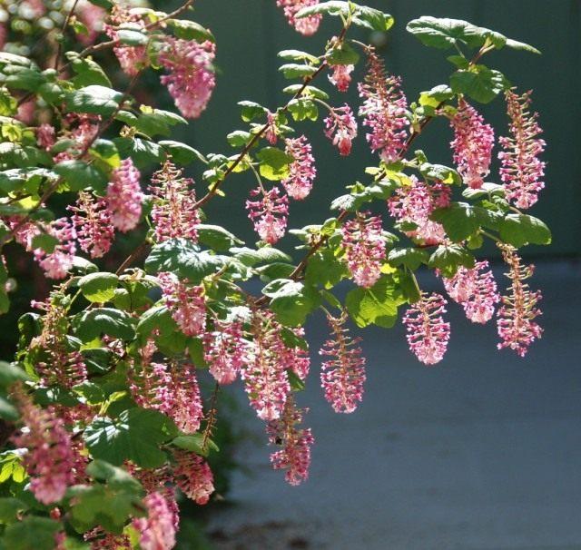 Ribes-sanguineum-07-640x606