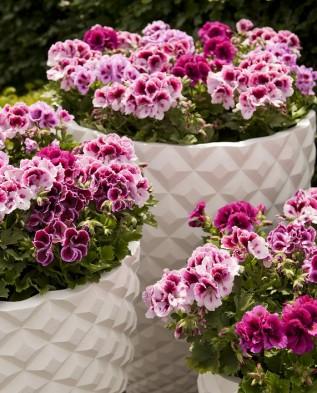 Pelargonium-grandiflorum-Bella-Donna-photo-PEP-Business-Creators-317x393